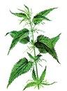 Концентрат с экстрактом свежих листьев крапивы